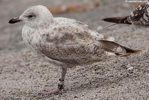 European Herring Gull, 2cy, Bk[1L1]W[A]