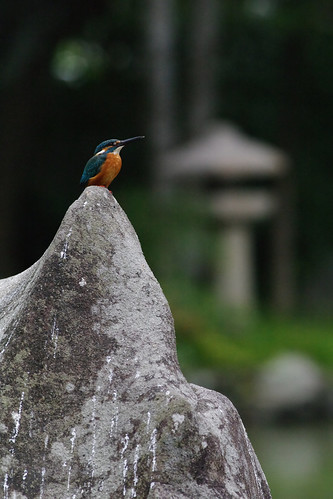 kingfisher in Tensya-en garden