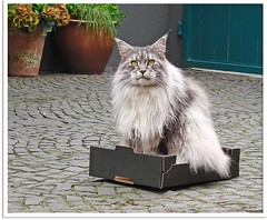 Maxwell in the box (1) (Jorbasa) Tags: pet animal cat germany deutschland spring hessen box mainecoon maxwell katze kater tier kasten tomcat frhling kiste wetterau cc100 jorbasa blacksilverclassictabby