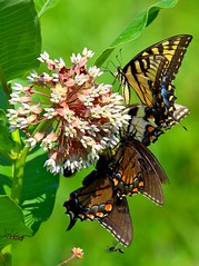 Bouquet Of Butterflies 194 (Darryl W. Moran Photography) Tags: lepidoptera monarch naturemacro tigerswallowtail worldnature colourfulnature wildlifecloseup butterflyphotographs holometabolousinsects brightlycolouredwings agentsofpollination