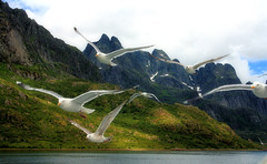 The Trollfjorden, Norway, July 21, 2010 (BumbyFoto) Tags: seagulls snow mountains water norway reflections boats harbor norge waterfall cliffs norwegian fjord scandinavia lofoten trollfjord trollfjorden