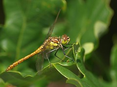 Dragonfly (Marrrcelll) Tags: female dragonfly libel sympetrumvulgatum solleveld steenrodeheidelibel vagrantdarter marrrcelll
