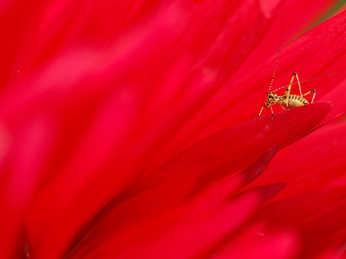 grasshopper in red