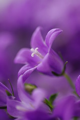 Campanula (Freelanceholic) Tags: flower color bokeh violet artshow campanula magicalmoments macrophotography iamagenius naturesgarden artisticexpressions macrouniverse loveforphotography artisticimpressions picturelovers pentaxk7 persephonesgarden thegardenofflowers whaticallart flickrliberto solidaritytochilie