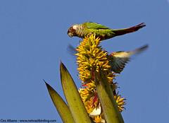 Gray-breasted Parakeet - Pyrrhura griseipectus