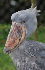 Shoebill Stork / Shoe-Billed Stork / Whale-Headed Stork (canikon1998) Tags: africa park bird tampa shoe zoo bill florida african whale rex lowry stork headed shoebill billed balaeniceps balaenicipitidae specanimal zoosofnorthamerica