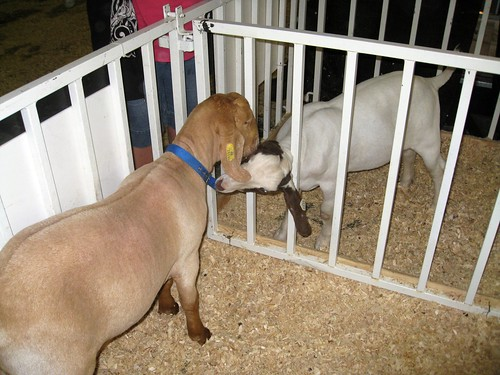 a goat eating another goat's collar