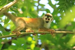 Red-backed Squirrel Monkey (Saimiri oerstedii) (Ozgi1) Tags: orange costa cute nature animal canon fur monkey mono hotel furry squirrel rainfo