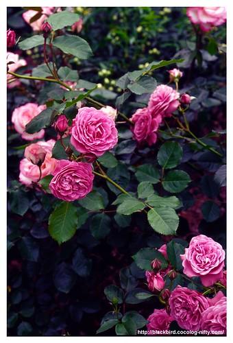 Rose 100522 #03