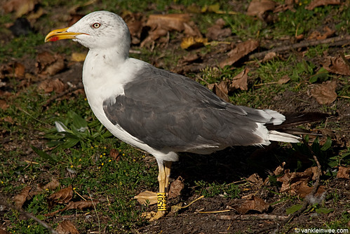 Lesser Black-backed Gull, 4cy, Y[H.501]