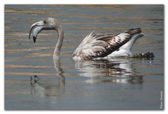 Flamenco (Elas Gomis) Tags: bird canon flamingo aves salinas alicante saltlake reflexions digiscoping phoenicopterusruber flamenco calpe phoenicopterus eliasgomis
