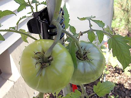 tomatoClip