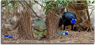 Satin Bowerbirds courting