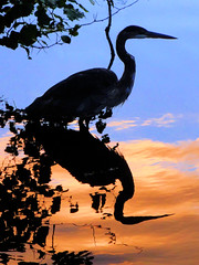 Heron at the Magic Hour (brooksbos) Tags: park city blue sunset shadow summer portrait sky urban color reflection heron nature water birds animals silhouette yellow boston night river geotagged ma photography gold photo mr massachusetts sony newengland cybershot fenway bostonma fens sonycybershot bostonist 02115 wetreflection lurvely thatsboston dschx5v hx5v brooksbos