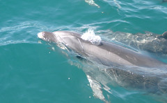One of the Many bay of Islands Dolphins