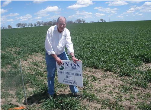 Charlie Ingram, Director of NASS Enumerator Program at National Association of State Departments of Agriculture, preparing a plot in Colorado for wheat objective yield measurements.