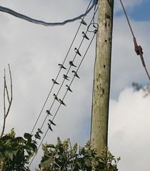 Gathering Swallows