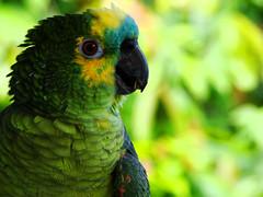 Papagaio (Anselmo Garrido) Tags: verde stock parrot ave papagaio flickrstock