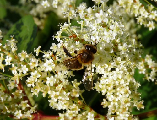 22378 - Honey Bee (Apis Mellifera) on Japanese Knotweed