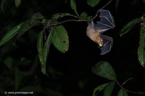 Dusky fruit bat