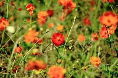 cosmos : コスモス #3 (Takeshi Kawai) Tags: red orange flower green eos sapporo bokeh cosmos 札幌 百合が原公園 コスモス 40d