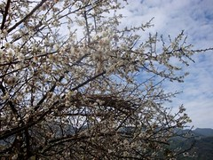 DSC00097 (diane.wolkstein) Tags: winter nature southeastasia january taiwan plumblossoms