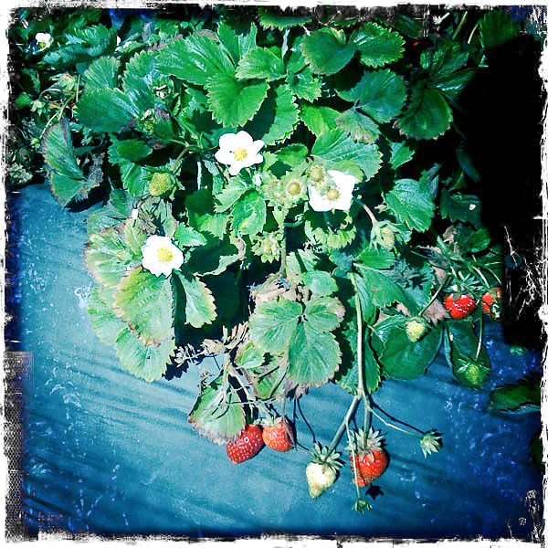 summer scrapbook :: berry picking and jam making...
