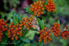 C_MG_3488-Edit (Buffalo Ridge Shutterbug) Tags: september 2010 butterflyweed chuckswanreserve