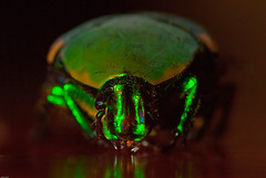 Scarab Beetle (nebarnix) Tags: green animals dead bugs beetles scarab