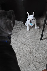 Herzog and Angus: The meeting (TemmaTemmaTemma) Tags: angus mastiff frenchbulldogherzog