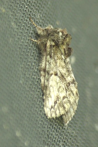 Mottled Prominent moth - Copy