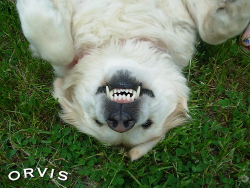Orvis Cover Dog Contest - Belle