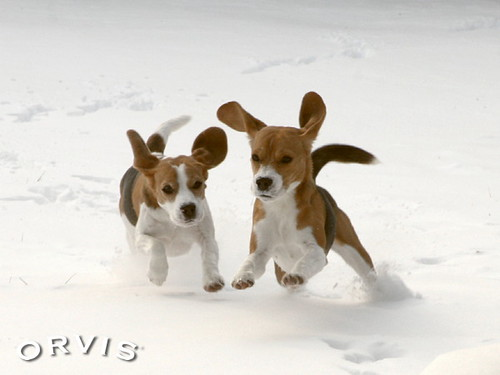 Orvis Cover Dog Contest - Scarlett and Rocky