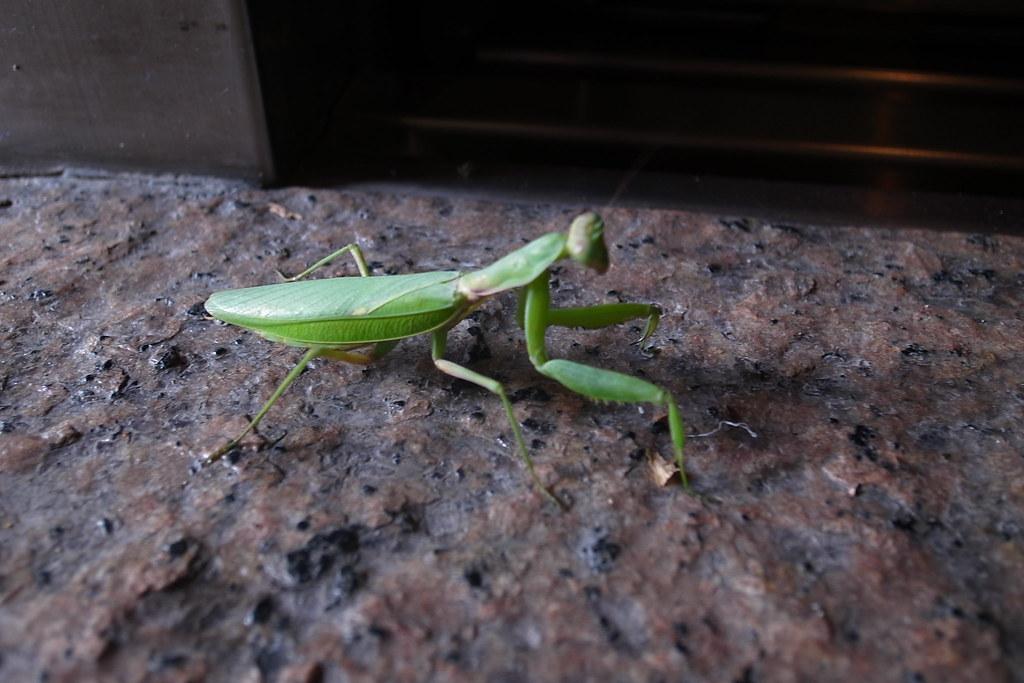 a mantis