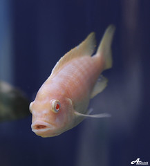 Pish (ZiZLoSs) Tags: pink fish macro canon eos 7d usm f28 aziz ef100mmf28macrousm abdulaziz عبدالعزيز ef100mm zizloss المنيع 3aziz canoneos7d almanie abdulazizalmanie httpzizlosscom
