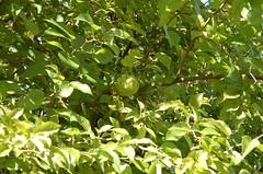 """Osage Orange Fruit <a style=""""margin-left:10px; font-size:0.8em;"""" href=""""http://www.flickr.com/photos/91915217@N00/4994645307/"""" target=""""_blank"""">@flickr</a>"""