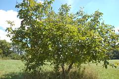 "Carpathian Walnuts <a style=""margin-left:10px; font-size:0.8em;"" href=""http://www.flickr.com/photos/91915217@N00/4995249372/"" target=""_blank"">@flickr</a>"