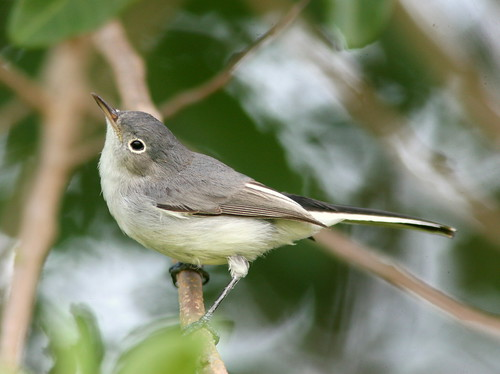 Blue-gray Gnatcatcher 3-20100916