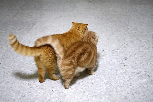 cute scottish fold munchkin tabby kittens walking together cat pic