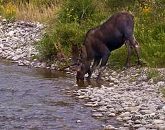 Thirsty Moose (kweaver2) Tags: water animal river wildlife moose bull antlers grandtetonnationalpark antelopeflats olympuse520 kathyweaver