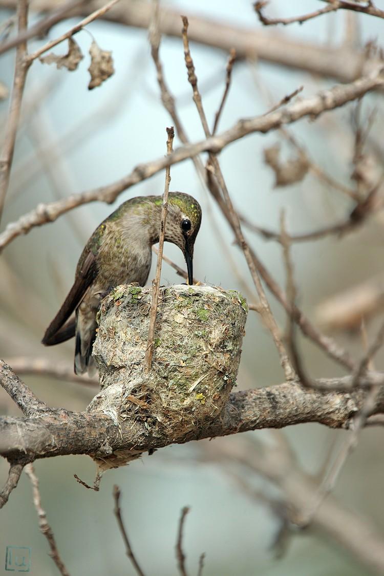 Anna's Hummingbird nest 0222101-4