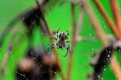 Web in the rain (bobbrooky) Tags: droplets nikon spiders web insects flies fullframe creatures araneusdiadematus d700