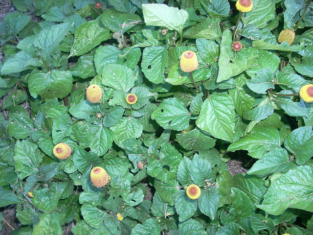 Photo: Spilanthes oleracea