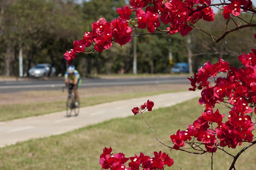 Un joven hace ciclismo sobre el paseo frente al parque Ñu Guazú el sabado 18 de setiembre durante la mañana, el parque hoy día cuenta con nuevas plantaciones que están floreciendo al rojo vivo. (Elton Núñez - Asunción, Paraguay)