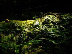 (yvonnepay615) Tags: uk green nature woodland lumix woods norfolk panasonic sandringham g1 45mm eastanglia closetonature magicofnature dragondaggerphoto thenaturesgreenpeace