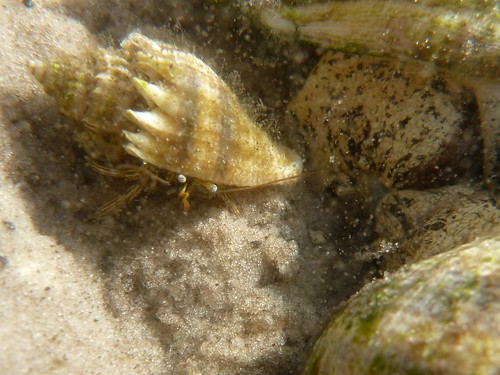 Hermit crab in crown conch shell, next to crown conchs