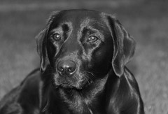 Black beauty (sjaradona) Tags: bw dog black dogs beauty animal canon labrador 2010 kangoo img4307