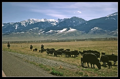 Home on the Range - Paradise Valley, Montana, 1969 (sjb4photos) Tags: montana cattle paradisevalley absarokarange seenonflickr praymontana