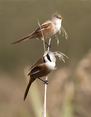 Pair of Bearded Tits (Anne Adams Photography - LRPS, BPE2* AFIAP) Tags: male bird nature birds female one this hit with you watcher jackpot natureplus dapagroup dapagroupmeritaward dapagroupmeritaward3 dapagroupmeritaward2 dapagroupmeritaward1 beardedtits amaphotographycouk amazingwildlifephotography