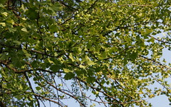 ginkgo layers (romana klee) Tags: park trees chicago green leaves sunshine ginkgo soft afternoon branches layers form treebranches pleasant washingtonpark profusion